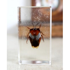 Insekt i akrylplade [7,5x4x2cm] Bille