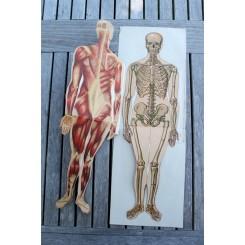Gammel fransk planche ANATOMI [43x15cm] Mand