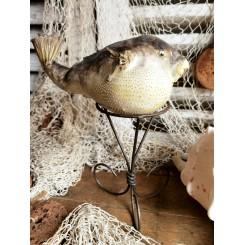 Kuglefisk 'udstoppet' [20 cm]